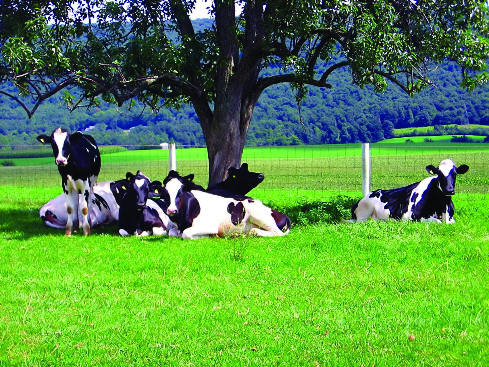 Article on heatstress in cattle